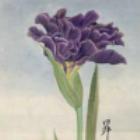 Iris N