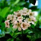 山楂花灿烂花